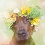 Fotógrafa humaniza pit bulls com imagens floridas