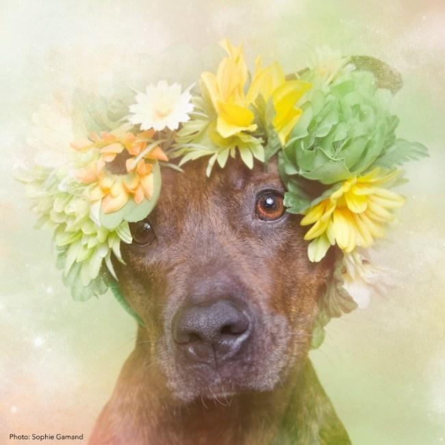 adopted-pitbull
