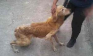 cachorra-matriz-de-criadouro-golden-sofrida-300x180