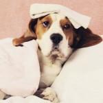 Sintomas de que o seu cão está com dor
