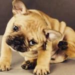 Como eliminar pulgas do seu cão e ambiente