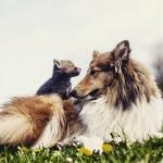 Cão adota filhote de raposa