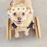 Cadela cadeirante é adotada e escapa da morte