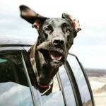 Cães que adoram passear de carro