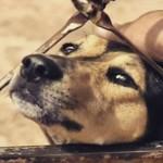 Cadela é envenenada 2 vezes, mas sobrevive