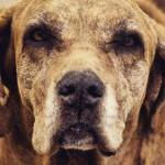 Como ajudar um cão idoso