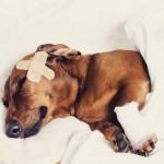 Como mexer em um cão que está com dor