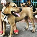 Cão Scooby vive bem após tratar leishmaniose