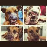 Cão vítima de violência tem a face reconstruída