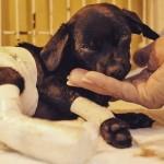Morre cadela que teve pele arrancada