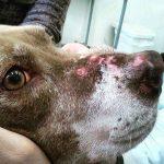 Proibida eutanásia em cães com leishmaniose em MS