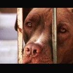 Pit bulls resgatados de rinha precisam de adoção