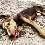 Mudança impressionante de cadela que estava morrendo