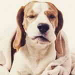 Com identificar dor em cachorros