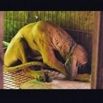 Cão criado em jaula anda na grama pela 1ª vez