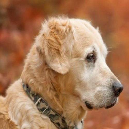 Cao-Alzheimer-cachorro-velho