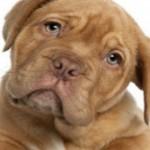 Cães reconhecem sentimentos