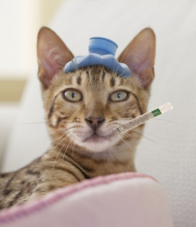 gato-doente-667x772