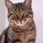 Como os gatos foram domesticados?