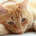 Conheça as principais doenças em gatos