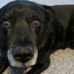 Cadela anda mais de 50 km atrás da família, mas é rejeitada