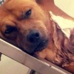 Casal resgata e adota cão esfaqueado em praia de Santos