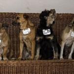 Como Cuba trata seus cachorros de rua. Aprenda