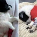 Esquema mutilava cães 'vira-latas' para venda como animais de raça em SP