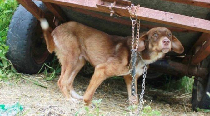 Cachorro fica 10 dias acorrentado após boatos de doença