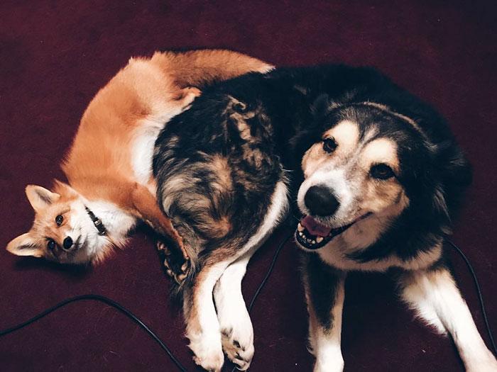 juniper-pet-fox-dog-friendship-moose-11