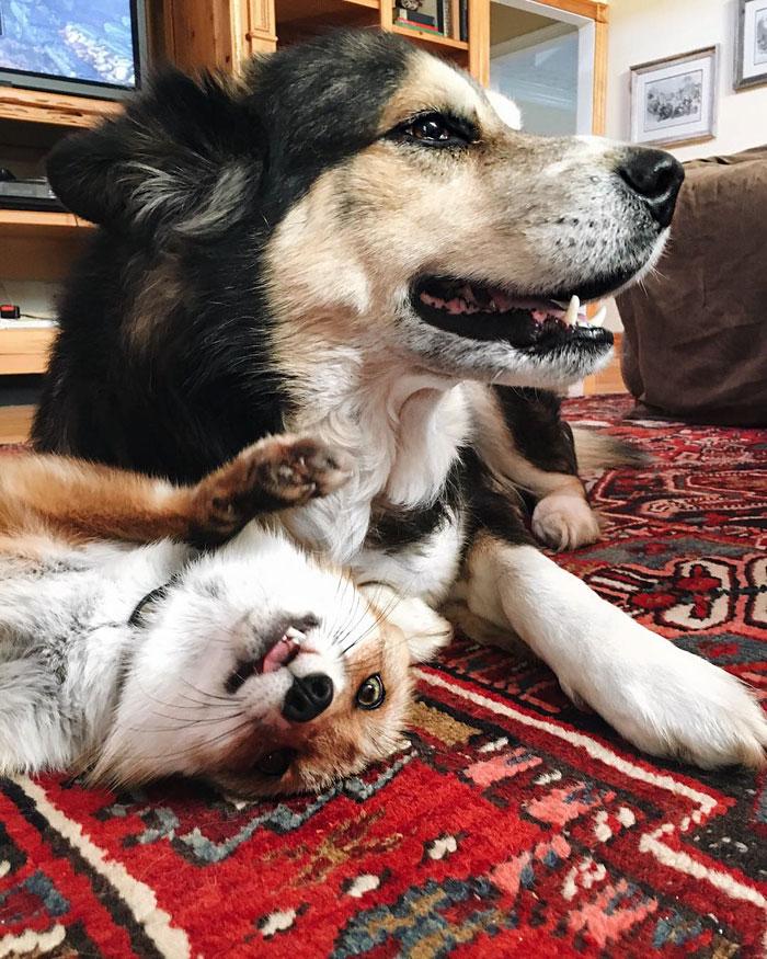 juniper-pet-fox-dog-friendship-moose-15