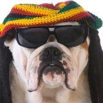 Pesquisa sugere que cães preferem ouvir reggae e rock