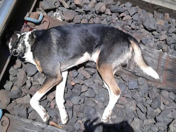 cachorro_morto_trem