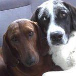 Cão prestes a ser adotado se recusa a ir embora sem seu melhor amigo