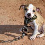 5 cães explorados em lutas que encontraram um final feliz