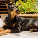 Cão de grande porte ganha na Justiça de permanecer em condomínio