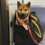 A solução que as pessoas acharam pra proibição de cachorros em metrô