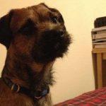 Cão perdido volta pra casa de táxi