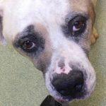 O sofrimento da cadela que teve o corpo deformado em fábrica de filhotes
