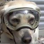 Frida, a cadela mexicana que ajudou no resgate de 56 pessoas