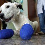 Cão tem as patas mutiladas após escapar de casa em Araraquara; polícia apura caso