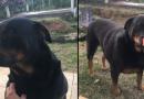 Casal de Rottweilers para adoção