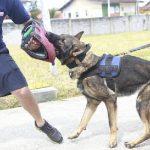Guarda Municipal de Guarujá treina três novos cães para atividades