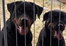 Casal de Rottweiler para adoção em Curitiba