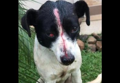 RS: cão é espancado, tem pênis cortado e leva tiro na cabeça, mas sobrevive