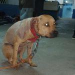 Pitbull resgatado em rinha chegou a urinar sangue
