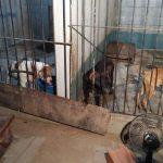 Polícia encontra mais de 30 pit bulls em chácara de peruano preso em rinha