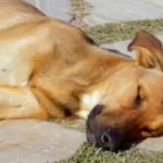 Cachorro morre ao ser deixado do lado de fora de casa no calor escaldante sem água ou sombra