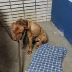 Polícia resgata 19 cães em rinha de SP; churrasco com carne de cachorro era feito