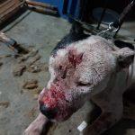 Polícia Civil estoura 'rinha' de cães em Mairiporã, SP
